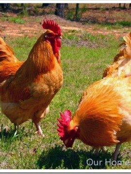 I Love My Chickens, but…