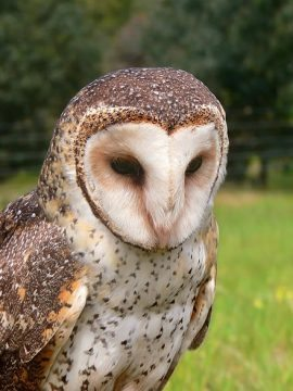 We Are Addicted :: Molly the Barn Owl
