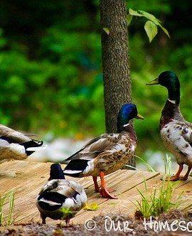 Duck, Duck, Not a Goose