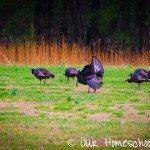 Out My Window :: Turkeys