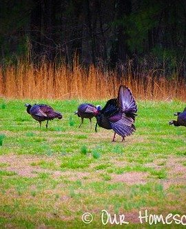Out My Window :: Turkeys