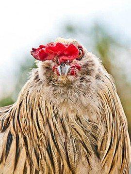 Salt & Peppah :: Rooster Trouble?