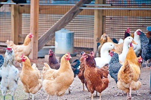 Chickens-4715-3