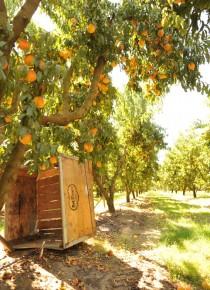 Easy Peach Sorbet Recipe and Del Monte Harvest