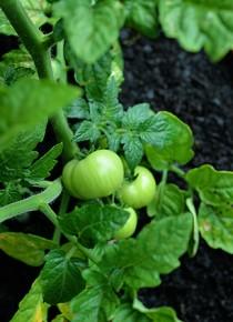 container-gardening-DSC_3592