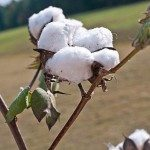 The Importance of Cotton